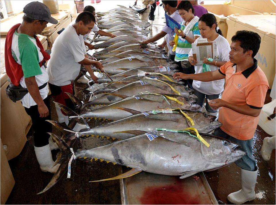 Fischereipolitik: Nach Angaben des WWF sind die Bestände des Gelbflossenthunfischs fast überall auf der Welt überfischt