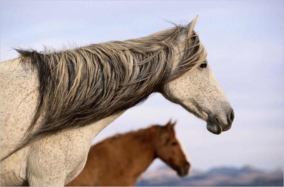 Pferde: Mustangs: Die Geschichte der wilden Streuner