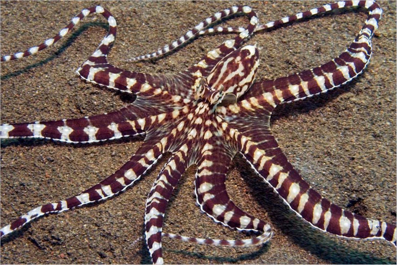 Der Oktopus Thaumoctopus mimicus ist spezialisiert darauf, andere Arten zu imitieren - hier eine Seelilie