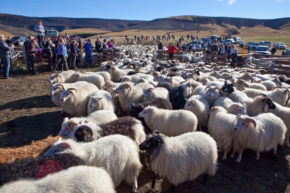 Beim großen isländischen Schafabtrieb, dem Rettir, werden Tausende von Schafen, die den Sommer frei in den Bergen gelebt haben, wieder zusammen getrieben