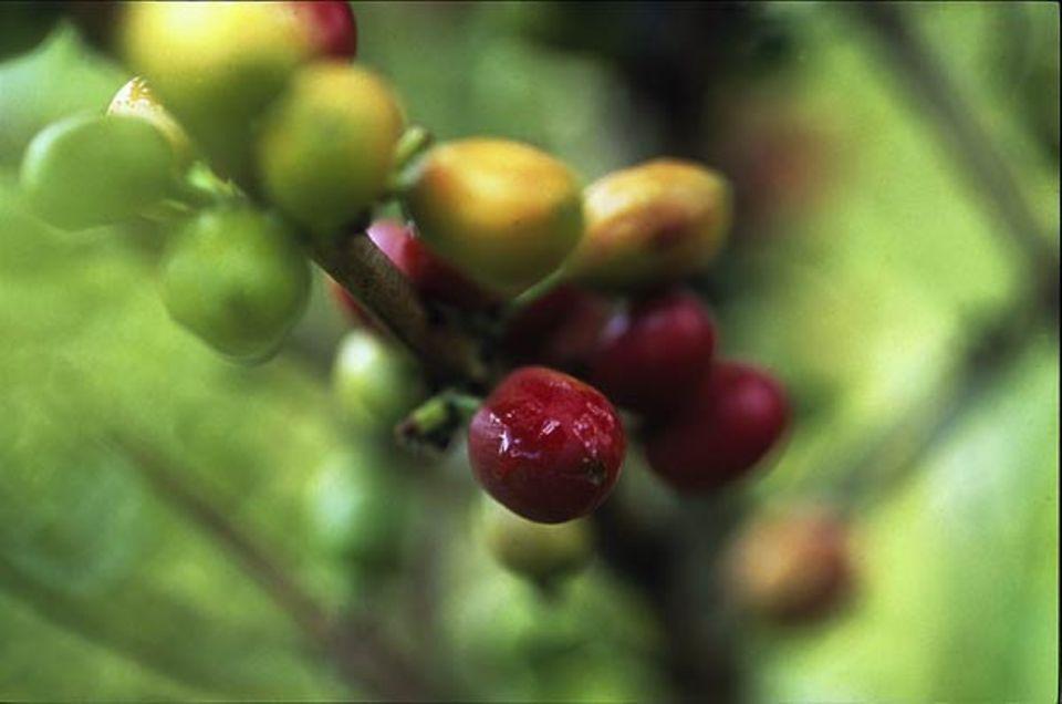 Neun Monate brauchen die Beeren bis zur kirschroten Reife - so lange wie kaum eine andere Frucht