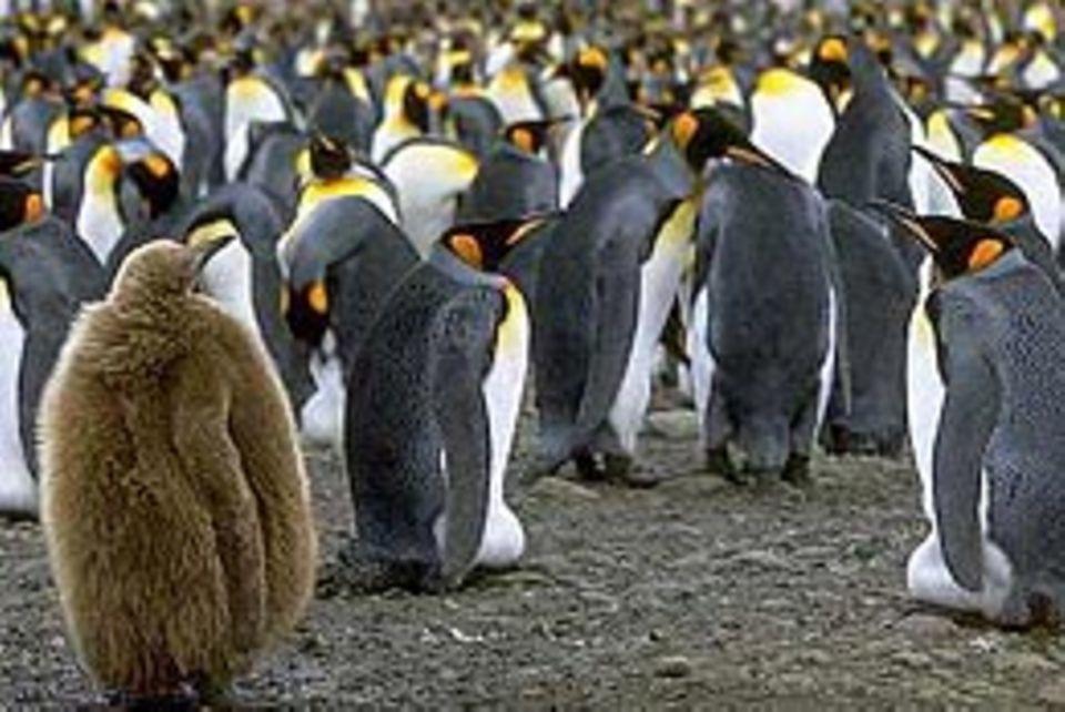 Pinguine: Die coolen Überlebenskünstler