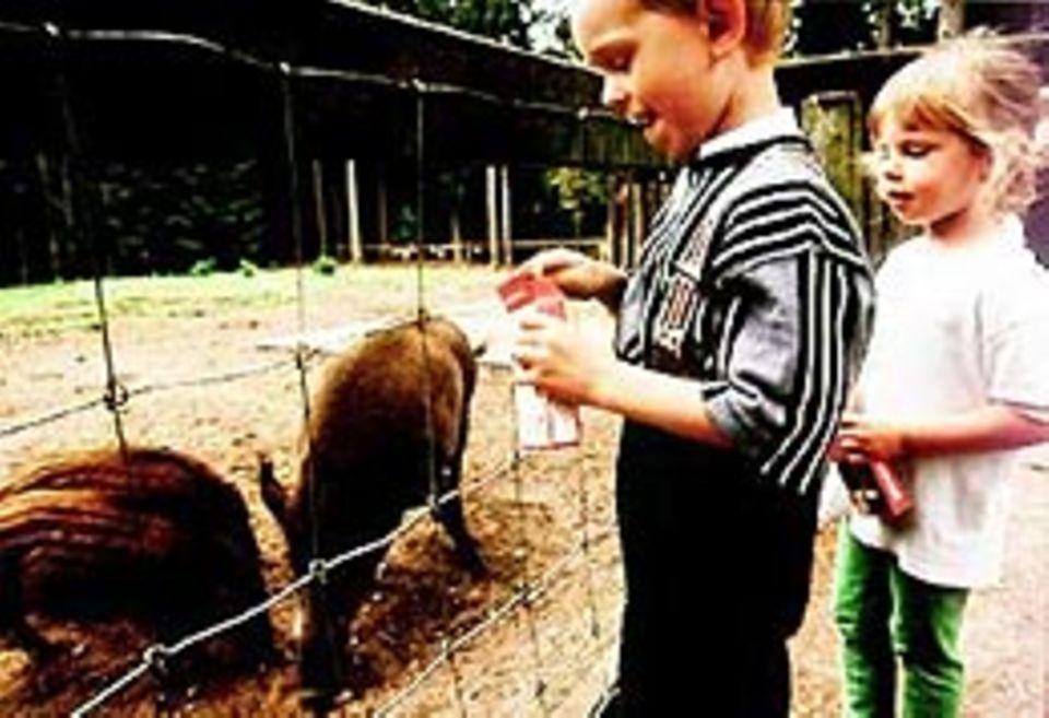 Wie die schlingen! Die beiden Kinder werfen den Wildschweinen Futter ins Gehege - und staunen, wie verfressen die 15 Wochen alten Frischlinge sind