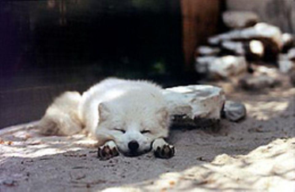 Verschlafen: Polarfuchs im Wildpark Bad Mergentheim