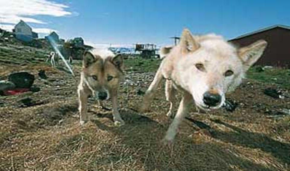 Schlittenhunde sind in Grönland reine Arbeitstiere