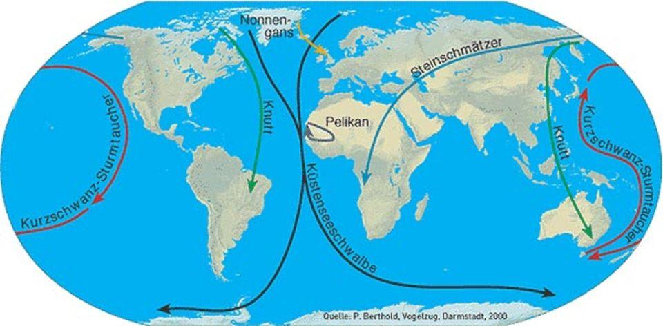 Zugvögel: Die ganze Erde umspannen die Flugrouten der Zugvögel. Die Küstenseeschwalbe fliegt mit Abstand am weitesten: vom Nord- zum Südpol und zurück.