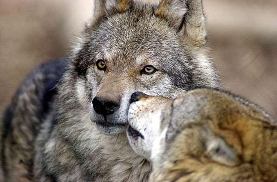 Wölfe im Bayerwald Tierpark in Lohberg: Zwei Jungtieren, die aus dem Nationalpark Bayrischer Wald entlaufen sind, haben sich Häscher auf die Spur geheftet
