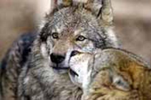 """Deutschland: Ökologie: """"Soko Wolf"""""""