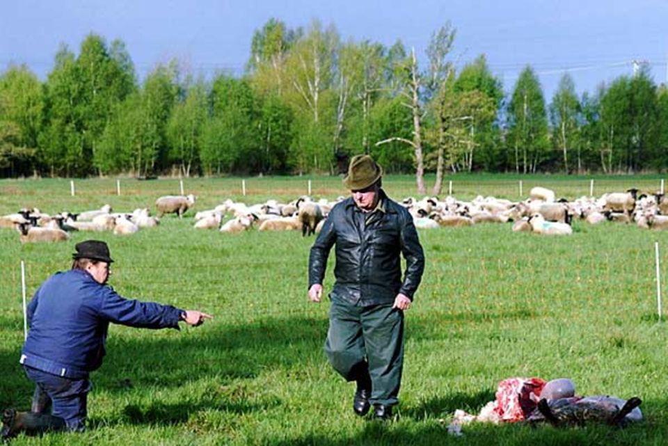 Deutschland: Tatort Muehlrose bei Weisswasser: Nach einem Wolfsüberfall bedecken 24 Kadaver eine Schafsweide in der Oberlausitz