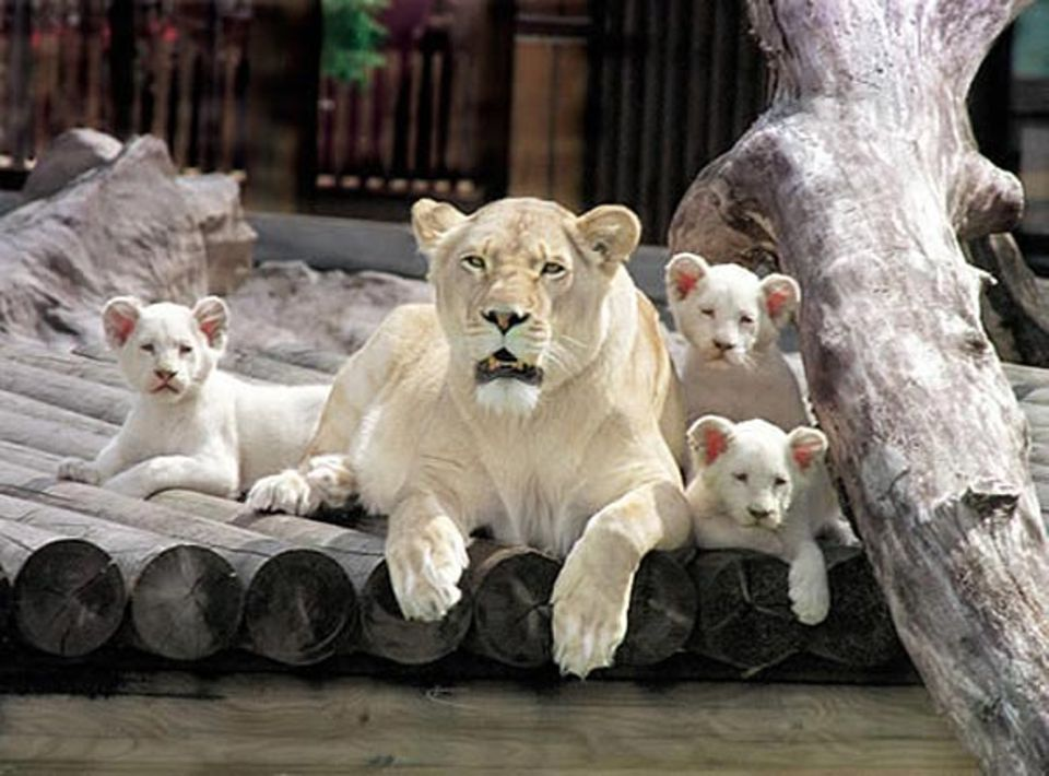 Die Könige der Löwen