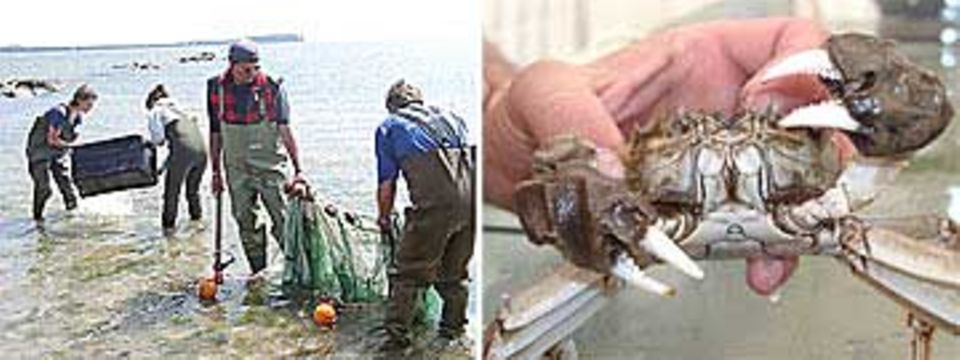 Großer Fang: Auch eine Wollhand-Krabbe ging den Forschern ins Netz