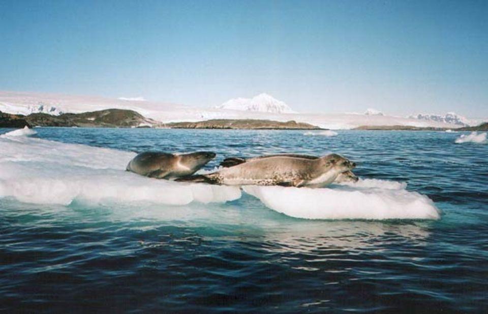 360° - Die GEO-Reportage: Krabbenfresser-Robben sind die größten Robben in der Antarktis und einer der größten Räuber. Weibliche Tiere werden vier Meter groß und wiegen fast eine halbe Tonne.