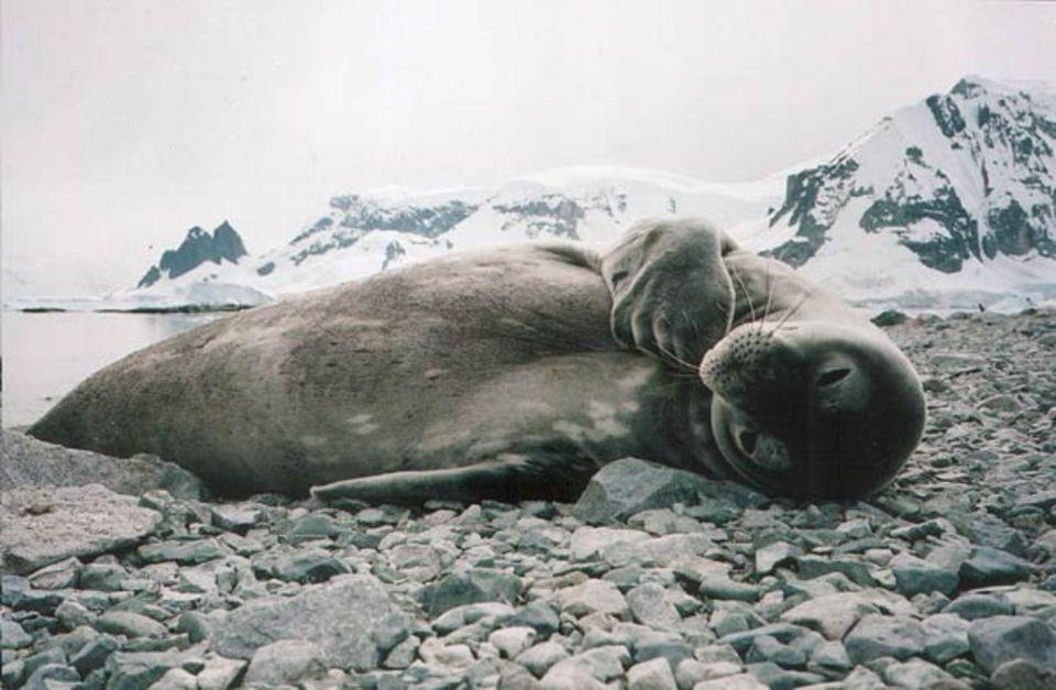 360° - Die GEO-Reportage: Eine Krabbenfresser-Robbe: Trotz ihres Namens fressen sie eigentlich gar keine Krabben, sondern bevorzugen Krill, eine kleine Garnelenart.