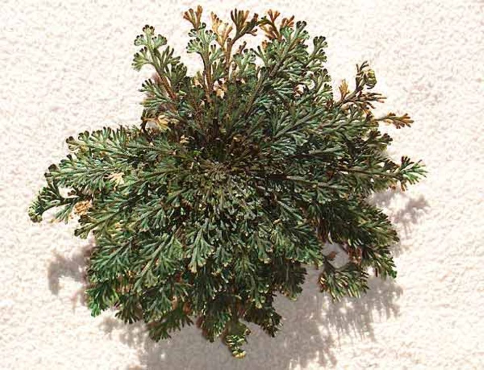 Pflanzen: Die blühende Pflanze.