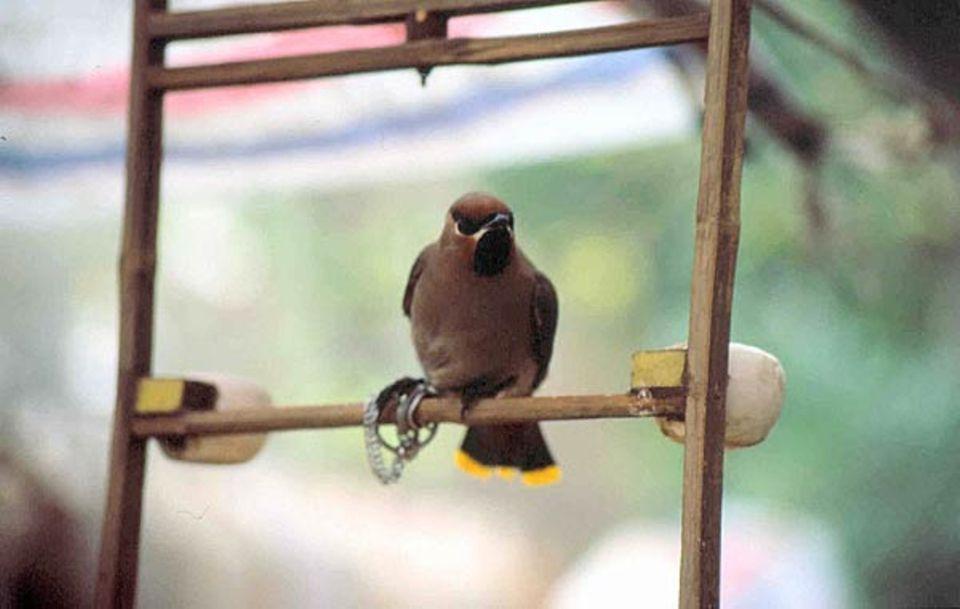 Überlieferungen zufolge halten Chinesen seit dem 5. Jahrhundert Vögel als Haustiere