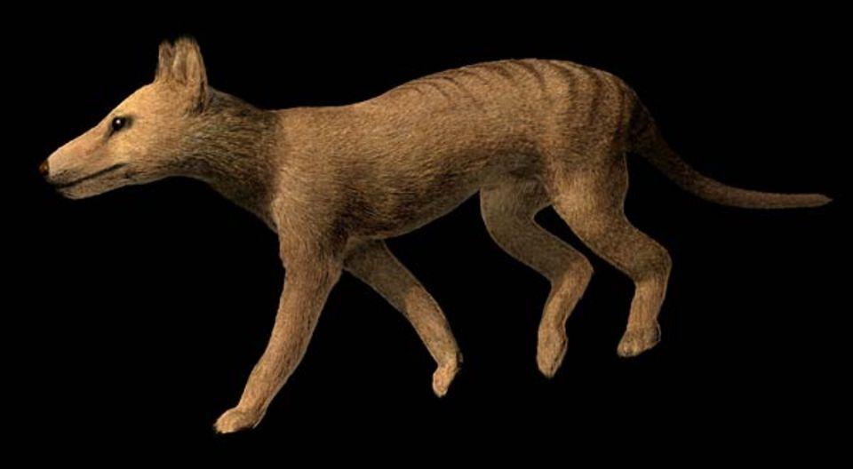 Ein junger Beutelwolf - nicht aus der Retorte, sondern aus dem Computer