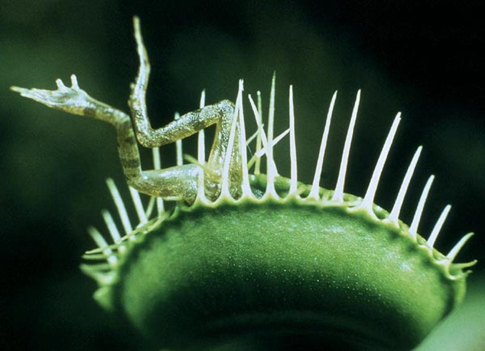 Venusfliegenfallen quetschen ihre Beute zwischen gezackten Fangblättern ein
