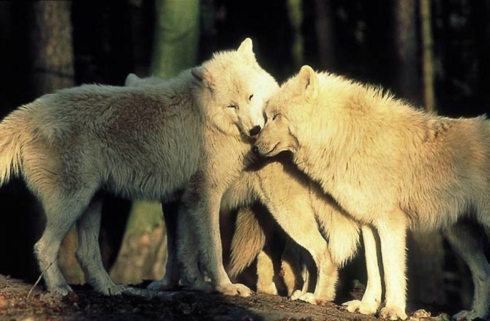 Fellpflege: Arktiswölfe sind friedlicher als andere Wolfsarten und weniger scheu gegenüber Menschen - sie wurden kaum von ihnen gejagt