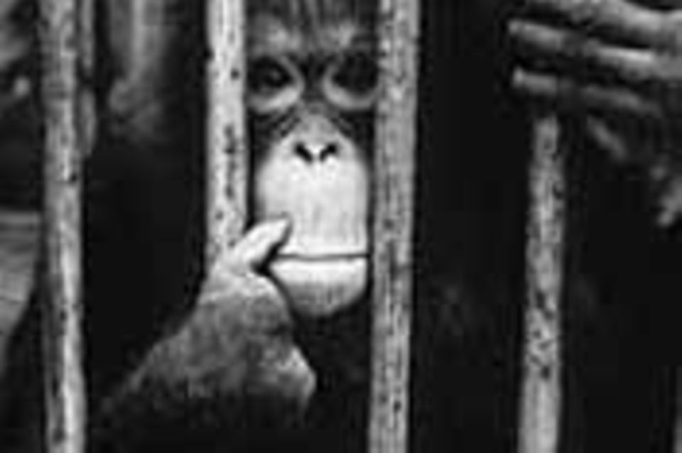 Affen: Orang-Utans: Mit der Säge kommt das Aus