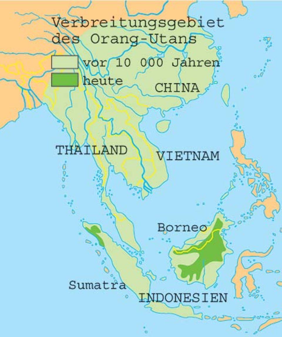 Affen: Wilde Orang-Utans leben in den tropischen Wäldern von Sumatra und Borneo in Indonesien. Doch Brandrodung und Holzeinschlag haben von ihrem Lebensraum kaum etwas übrig gelassen.