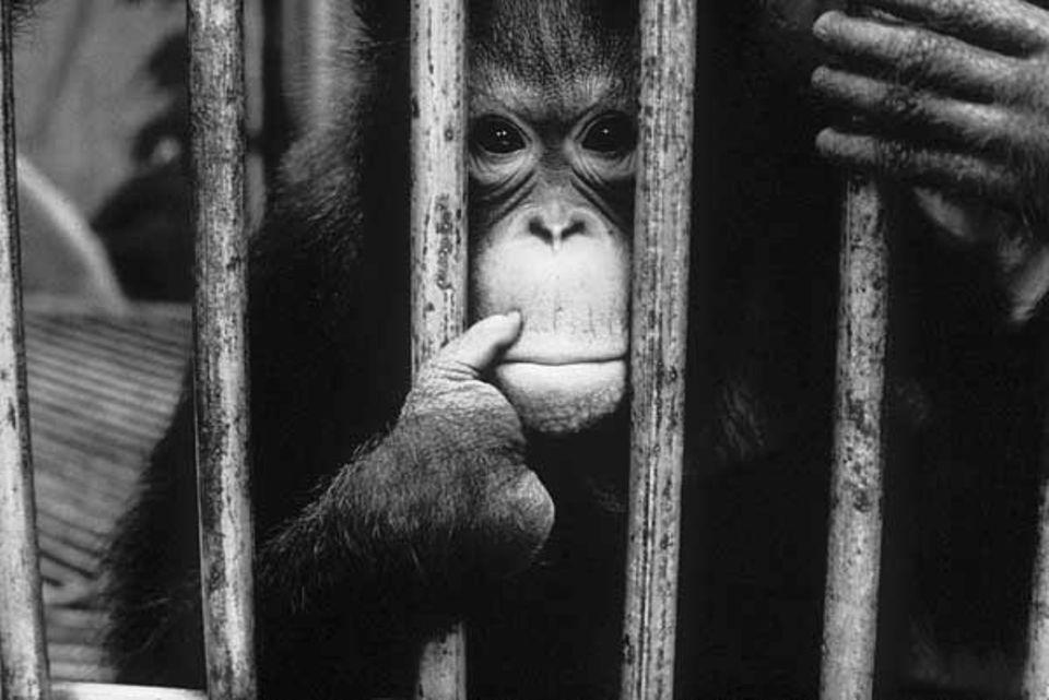 """Affen: Weil sie Eier """"gestohlen"""" hatte, wurden der Menschenäffin vier Finger abgehackt. Viele in Gefangenschaft lebende Orang-Utans werden als Erwachsene ausgesetzt oder getötet, um Platz zu schaffen für niedlichere Jungtiere."""