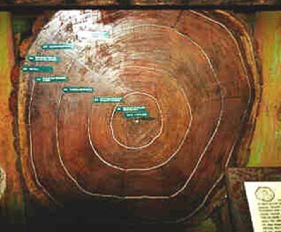 Pflanzen: Baumscheibe mit historischen Daten: