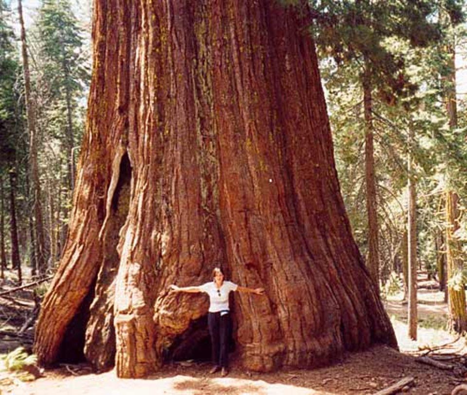Pflanzen: Die Bäume haben bis zu 30 Meter Umfang