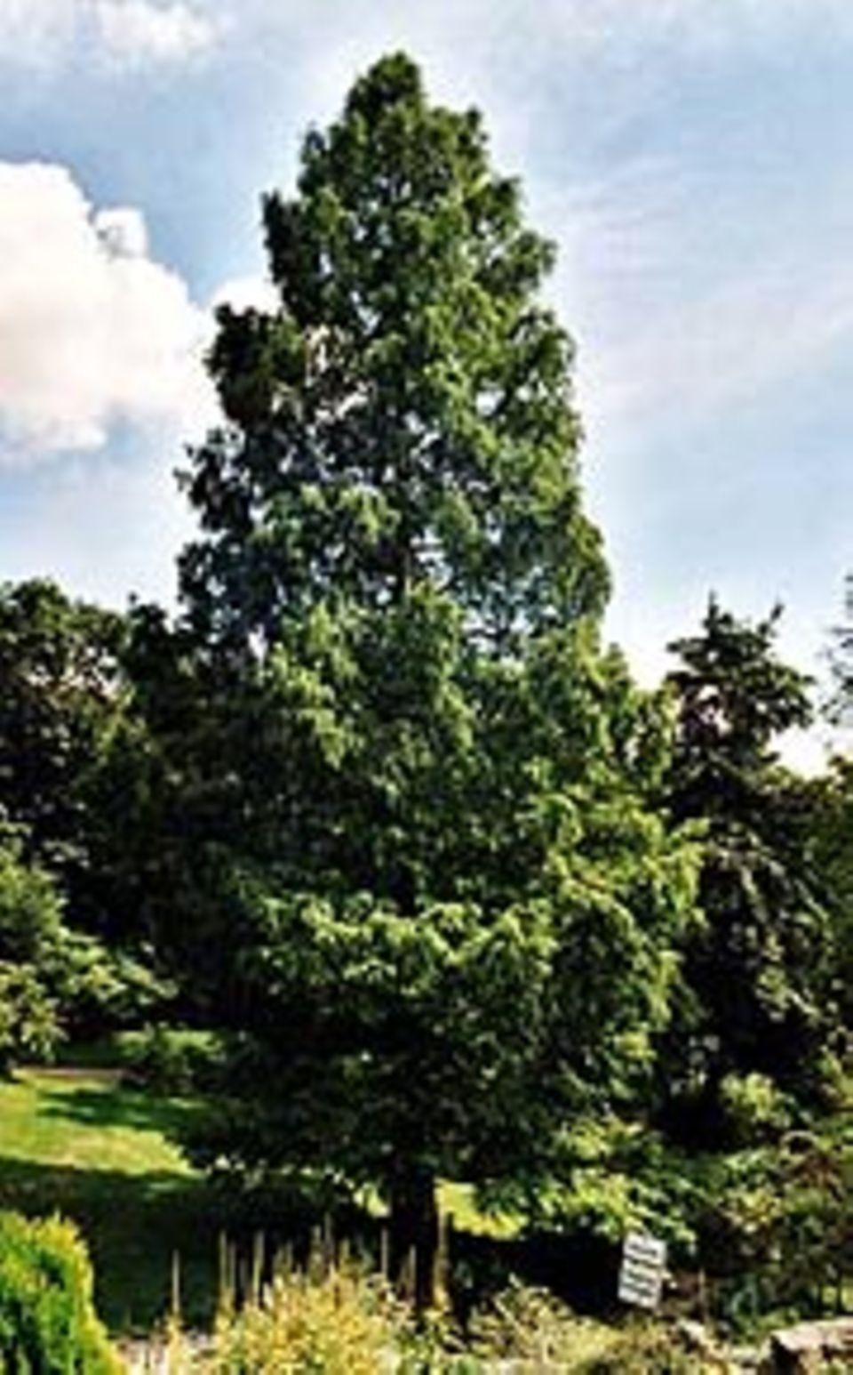 Pflanzen: Mammutbaum in Frankfurt