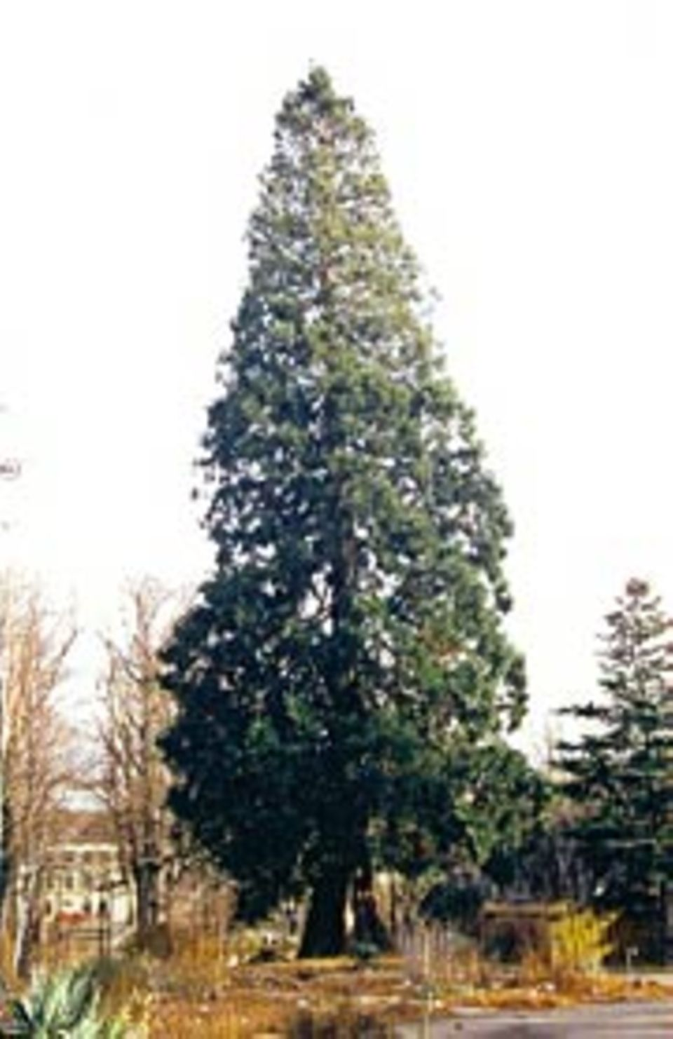 Pflanzen: Metasequoia in Basel