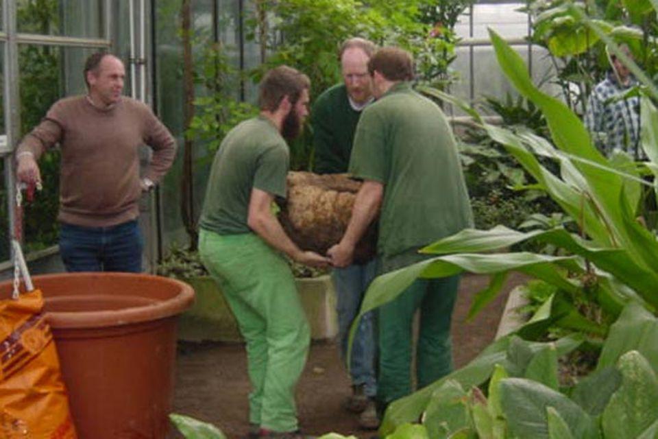 Umtopfen im Großformat: Um die 78 Kilo schwere Knolle in den neuen Kübel zu wuchten, mussten schon drei Männer anfassen