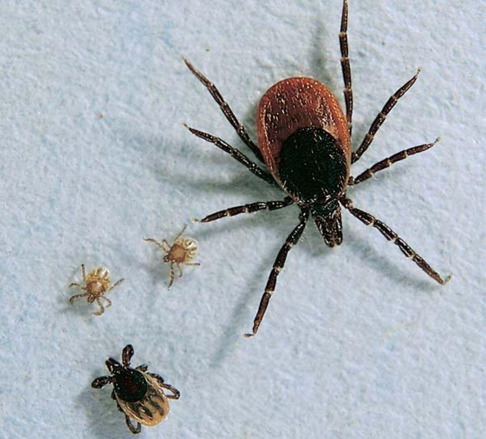 Die Entwicklungsstadien im Größenvergleich: sechsbeinige Larven (0,5 Millimeter), eine Nymphe (1,5 Millimeter) und ein geschlechtsreifes Weibchen (3,5 bis 4,5 Millimeter)