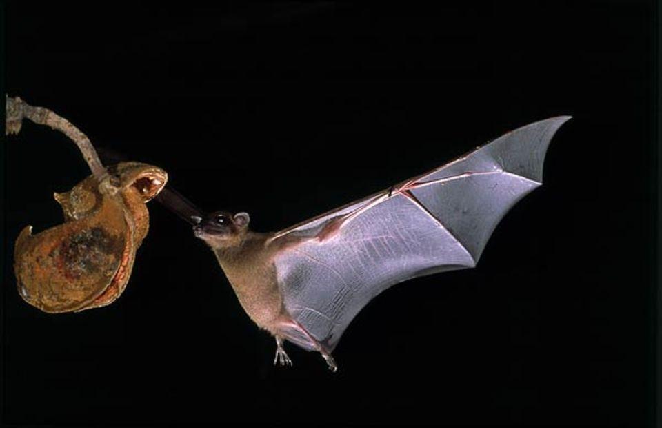 Tierfotograf Ingo Arndt: Ein Epauletten-Flughund bei der Landung auf einem Fruchtbaum
