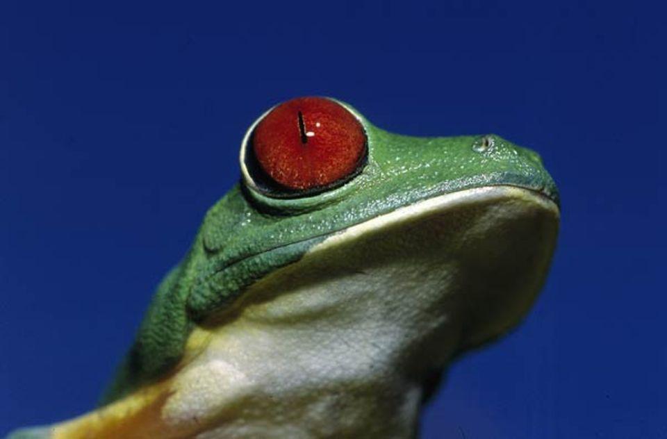 Tierfotograf Ingo Arndt: Farbenprächtiger Tropenbewohner: der Rotaugenfrosch aus Mittelamerika