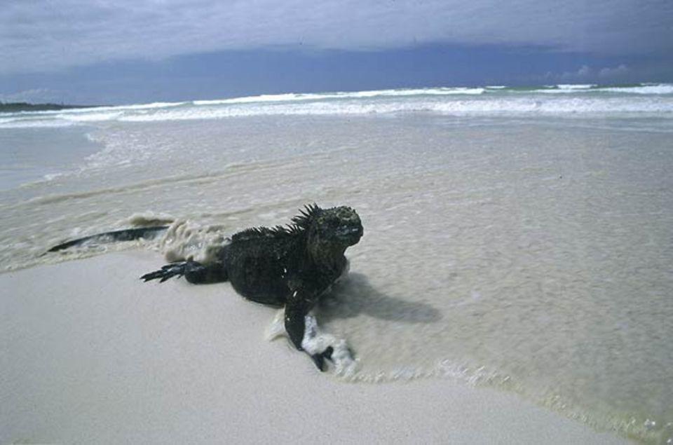 Tierfotograf Ingo Arndt: Zum Lebensraum der Meerechsen gehören sowohl das Land als auch das Wasser der Galapagos-Inseln