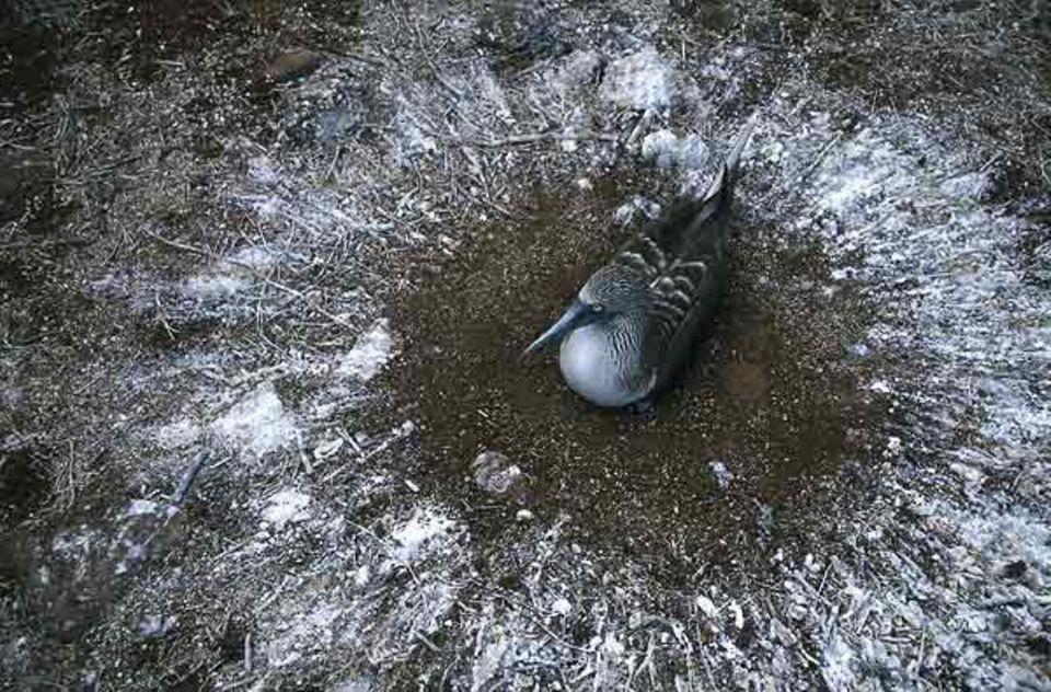 Tierfotograf Ingo Arndt: Blaufußtölpel halten nicht viel von einem gut ausgestatteten Nistplatz. Auf Hygiene wird trotzdem geachtet