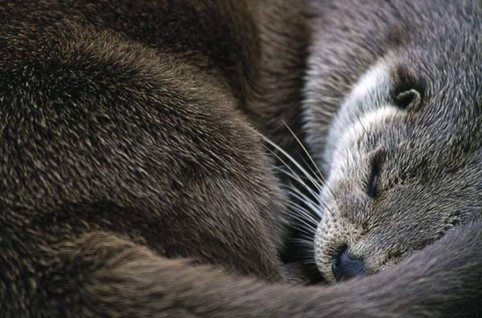 Tierfotograf Ingo Arndt: Zusammengerollt geht dem schlafenden Fischotter weniger Körperwärme verloren