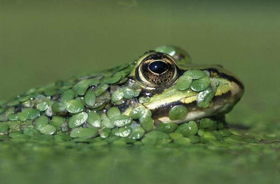 Tierfotograf Ingo Arndt: Gut getarnt wartet ein Wasserfrosch, bis Beute in Reichweite kommt