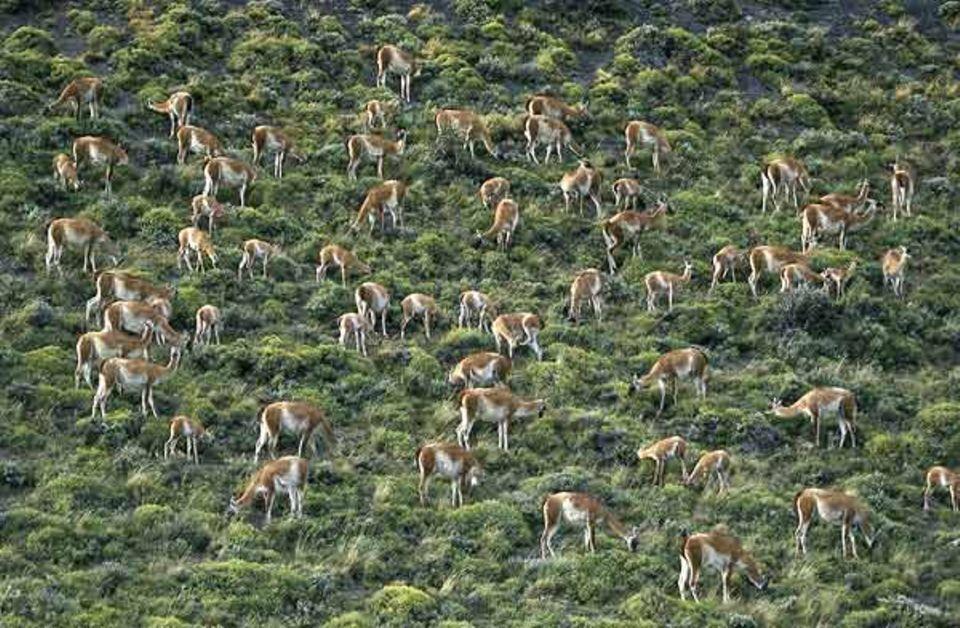 Tierfotograf Ingo Arndt: Im Torres del Peine Nationalpark an der Südspitze Amerikas grasen noch große Herden Guanakos