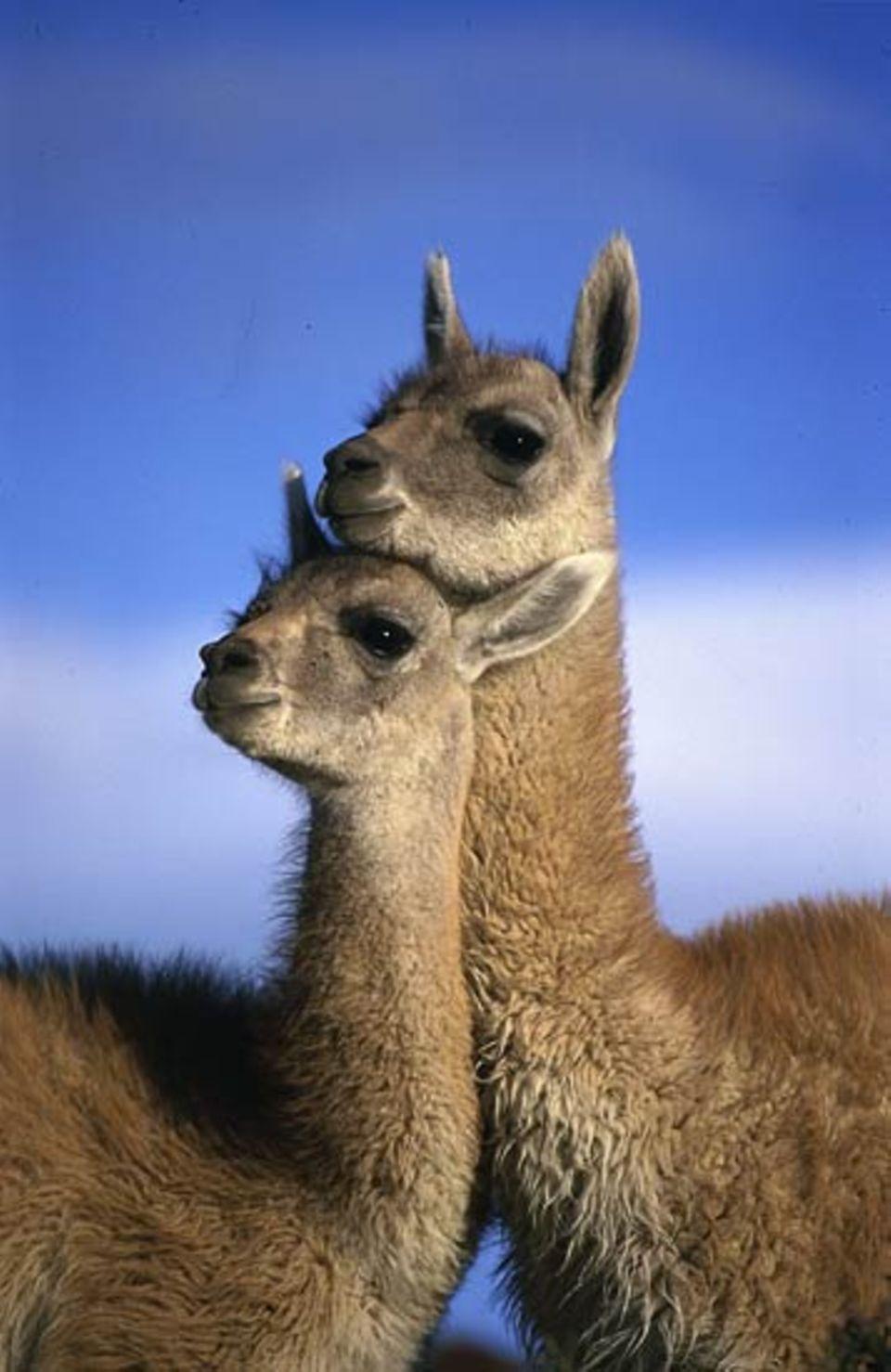 Tierfotograf Ingo Arndt: Zwei junge Guanakos zeigen sich während einer Spielpause ihre Zuneigung