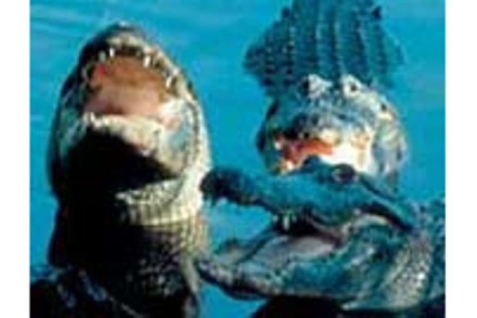 Alligatoren - die Herren der Sümpfe