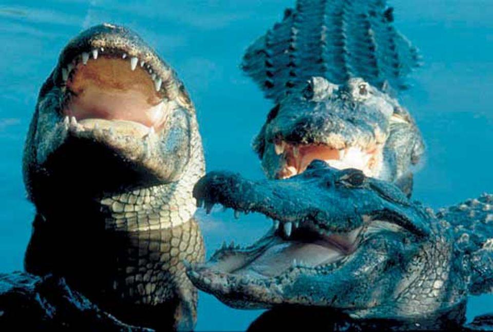 """Alligatoren sperren das Maul auf, wenn ihnen zu heiß ist. Dabei kühlen sie sich ab und betreiben gleichzeitig """"Maulpflege"""", denn die Sonnen tötet Bakterien auf ihrer Zunge. Der aufgerissene Rachen kann auch eine Warnung an die Artgenossen sein"""