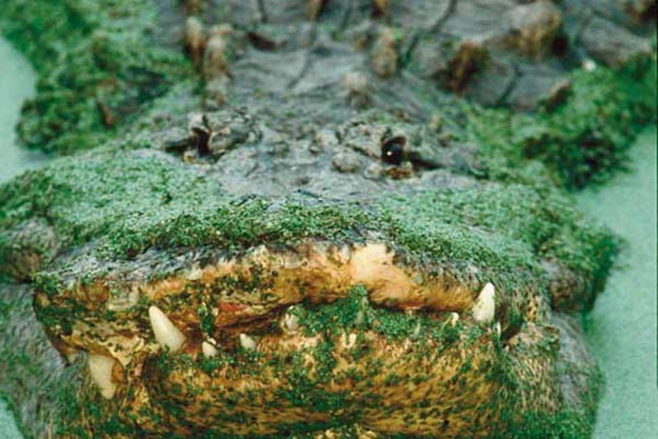 Viele Jahre hat das Ungetüm auf dem Buckel, doch die abgebrochenen Zähne sind dafür kein Beweis: Sie wachsen während das langen Lebens ständig nach