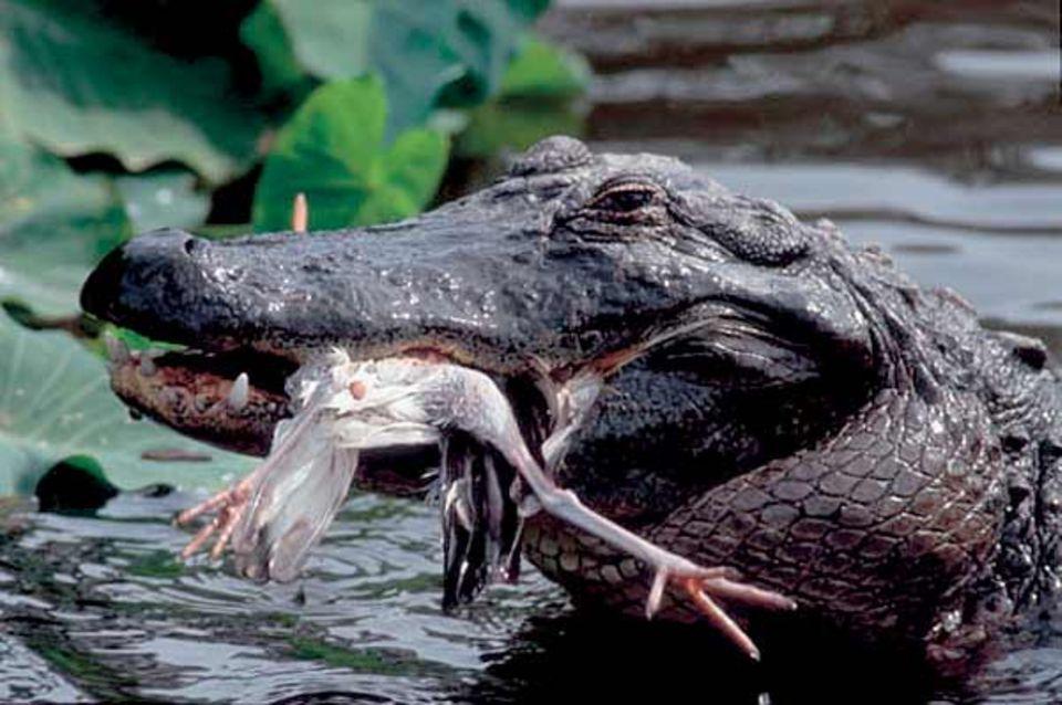Sie haben nur ein winziges Gehirn, dafür aber eine ganze Waffenkammer im Gesicht: Mit bis zu 80 Zähnen packen die Reptilien ihre Opfer