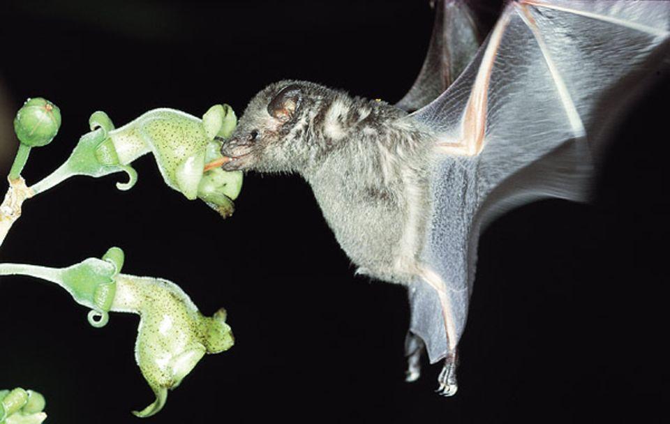 Veränderte Sehzellen sorgen bei der Blumenfledermaus für gute Sicht auch in der Nacht