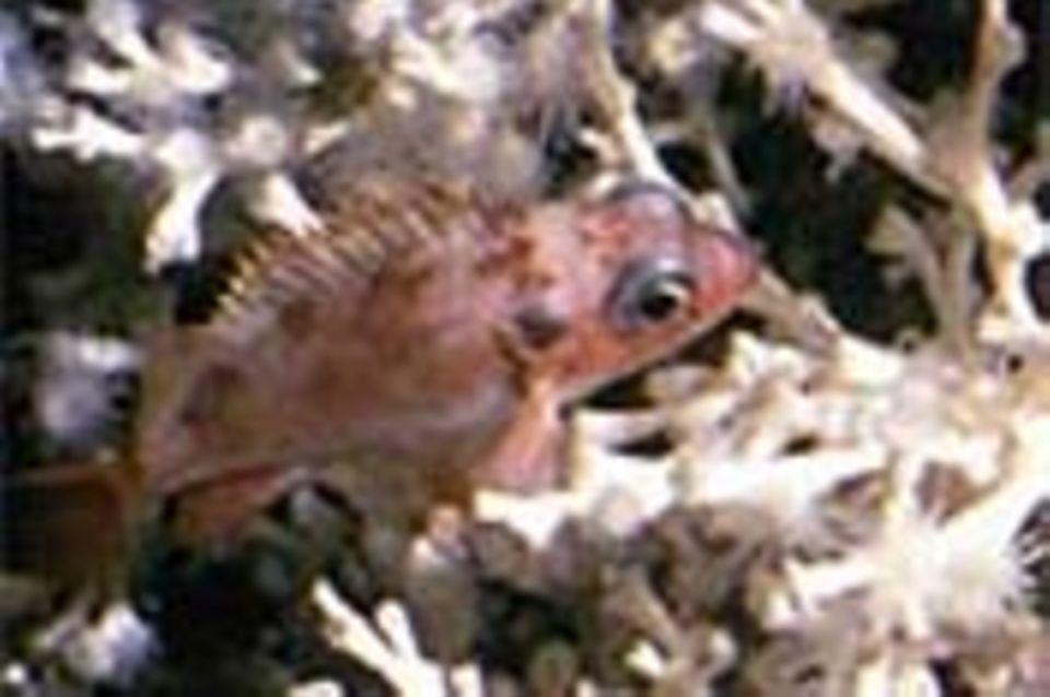Kaltwasserkorallen: Die kühlen Blumentiere