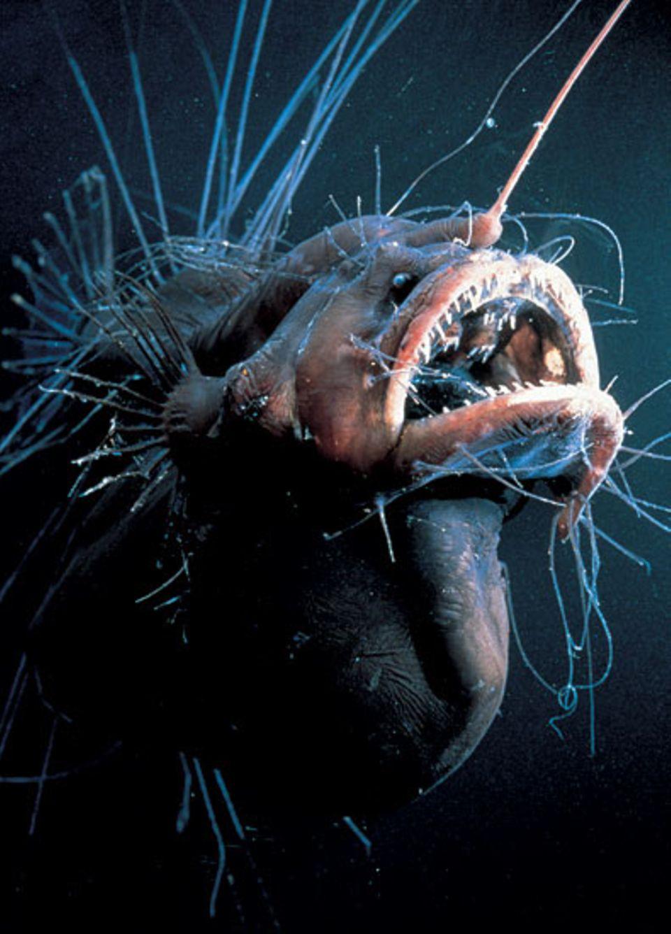 Tiefsee: Mit haarfeinen Antennen tastet dieser Anglerfisch in der Dunkelheit nach Druckwellen vorbeihuschender Tiere