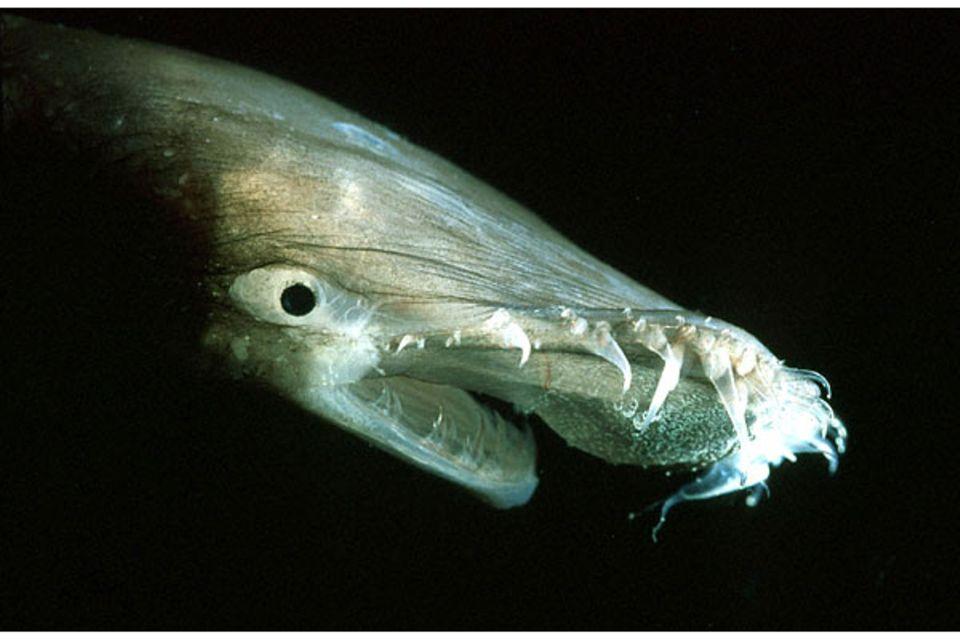 Tiefsee: Tückisch glimmende Lippe: Leuchtzellen am Oberkiefer des Anglerfisches Thaumatichthys sollen neugierige Beute anlocken