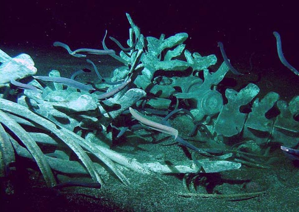 Tiefsee: Leichenschmaus: Das Fleisch eines Walkadavers vertilgen Schleimaale, Flohkrebse und Grenadierfische manchmal in wenigen Tagen - an den Knochen zehren Bakterien jahrelang