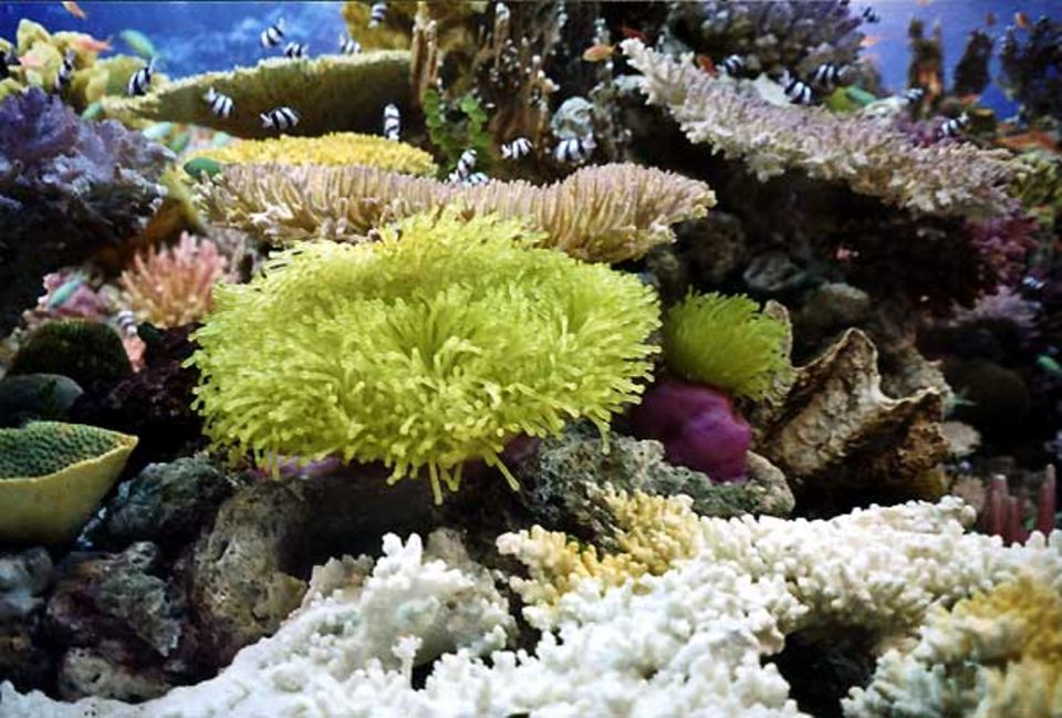 Fotoshow: Die große Anemone hat über 1000 Tentakel