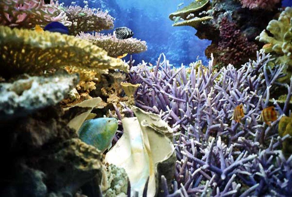 Fotoshow: Das Modell zeigt die ganze Farbenpracht eines indopazifischen Riffs